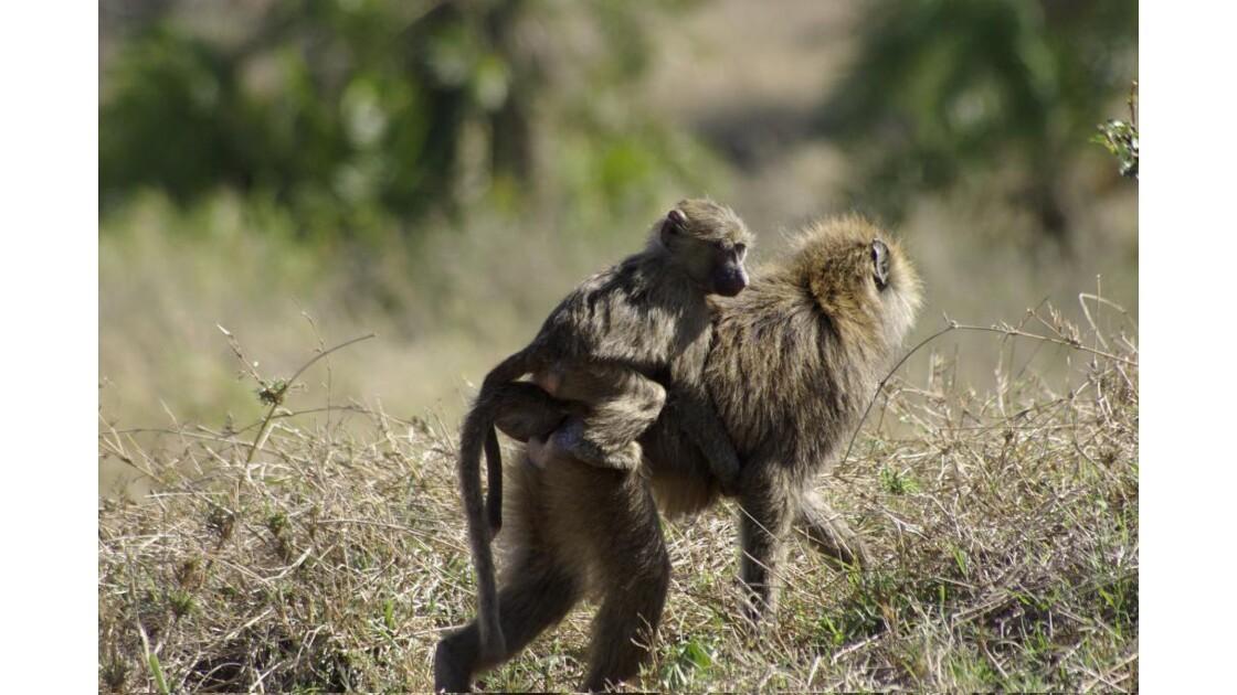 Petit singe sur sa maman