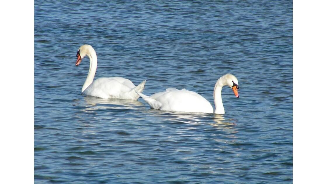 deux cygnes dans l'eau bleue.