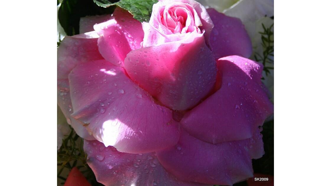 Rosee du matin