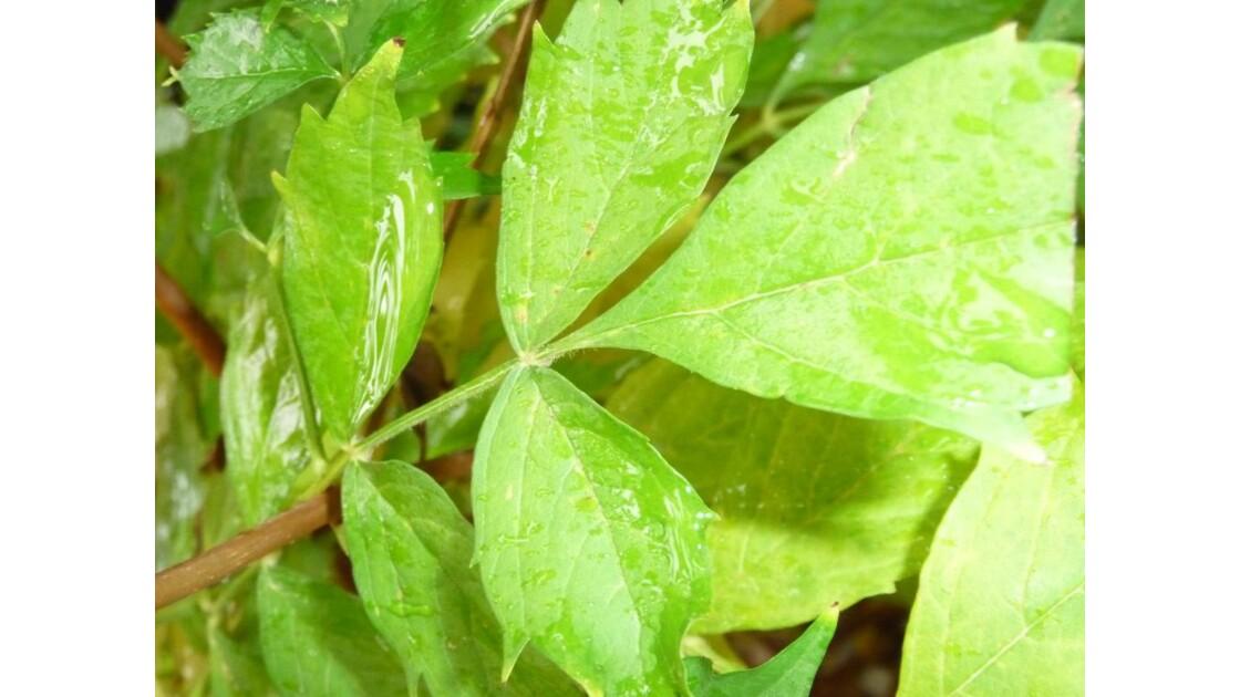 l'eau sur les feuilles de bignonne