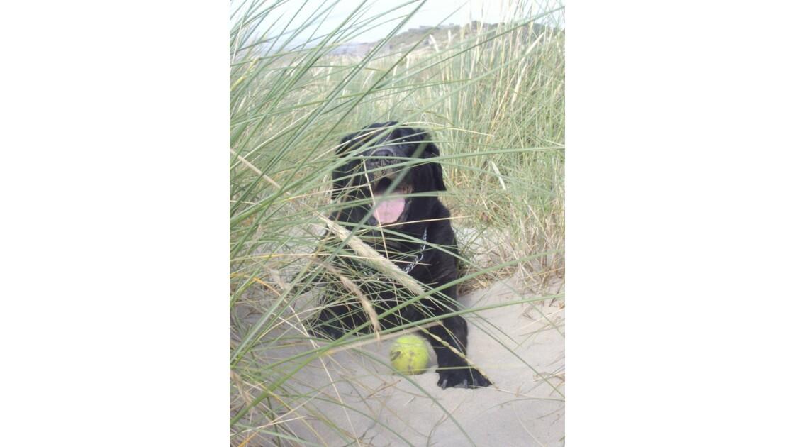 Labrador___Plage_Dunkerque.JPG