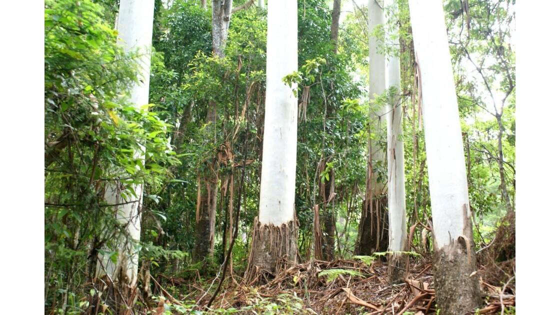 Fraser Island - Arbres sans écorces