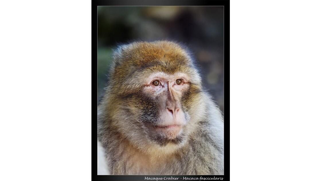 macaquecrabier  -pensif -