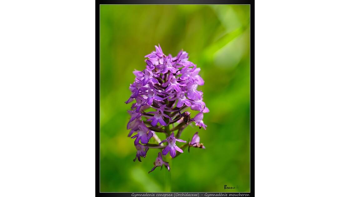 Orchidée sauvage 1