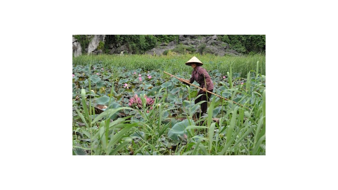 Tam Coc Vietnam fleurs de lotus