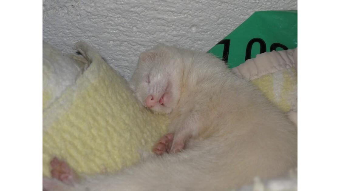 Il dort il dort, le furet....JPG