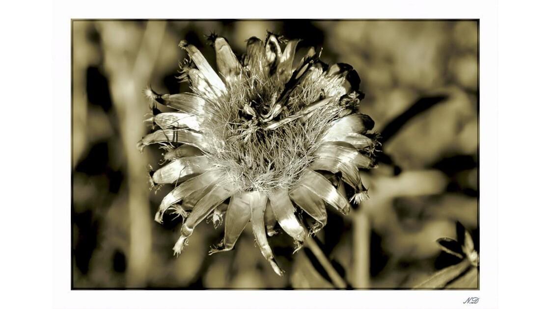 Fleur de chardon séchée par le soleil !