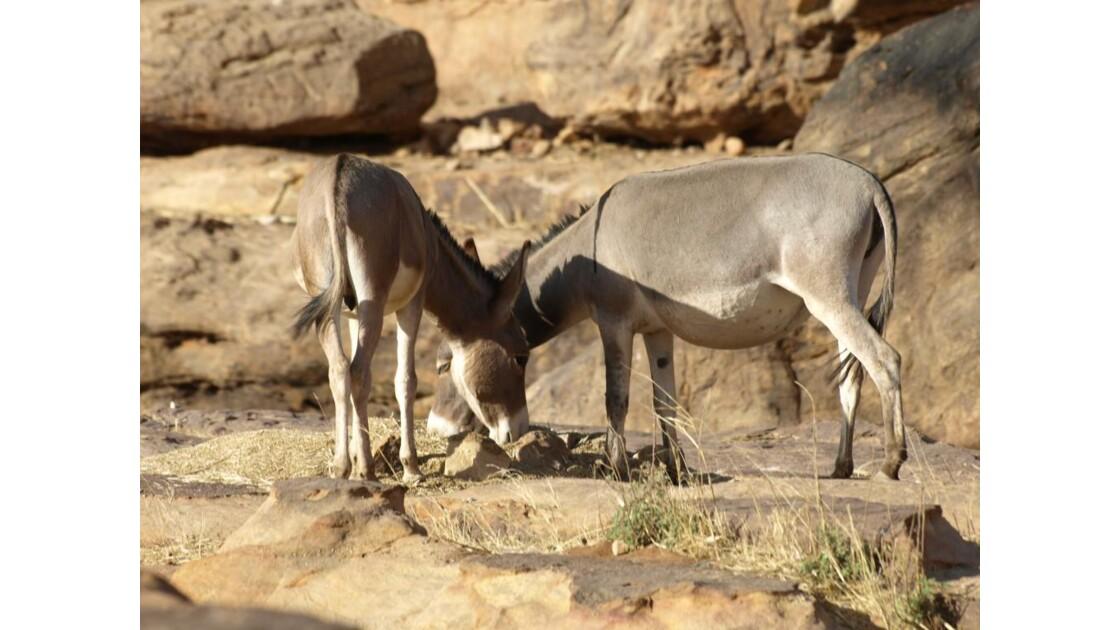 Il y a des ânes au Mali