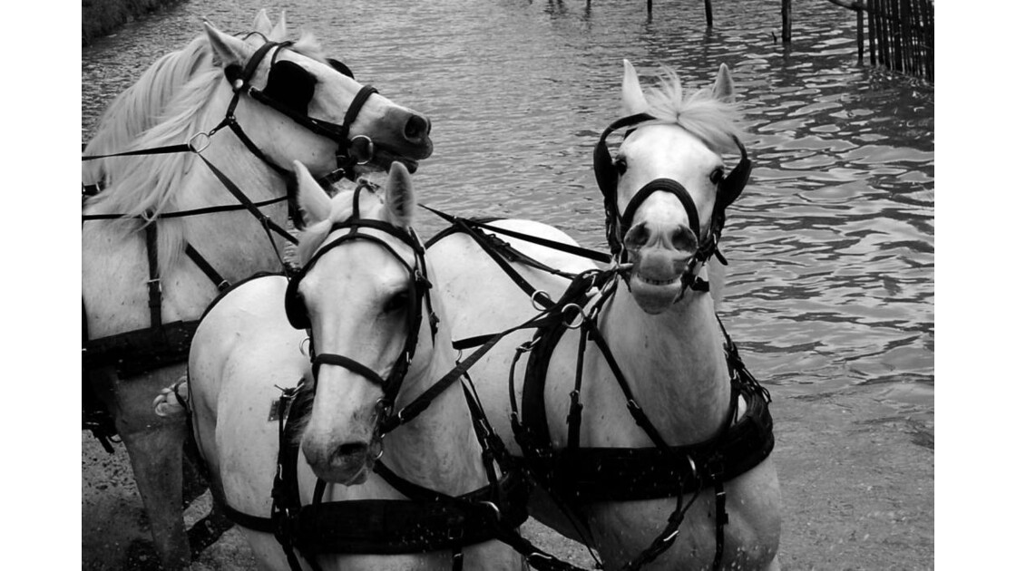 Attelage : Noir et Blanc