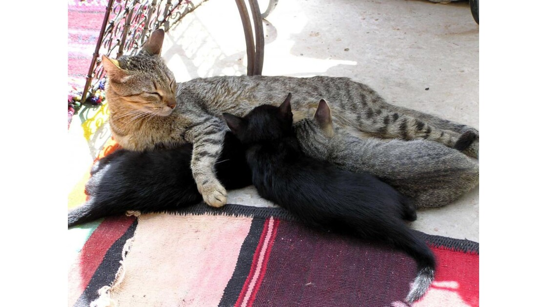 chats de Djerba