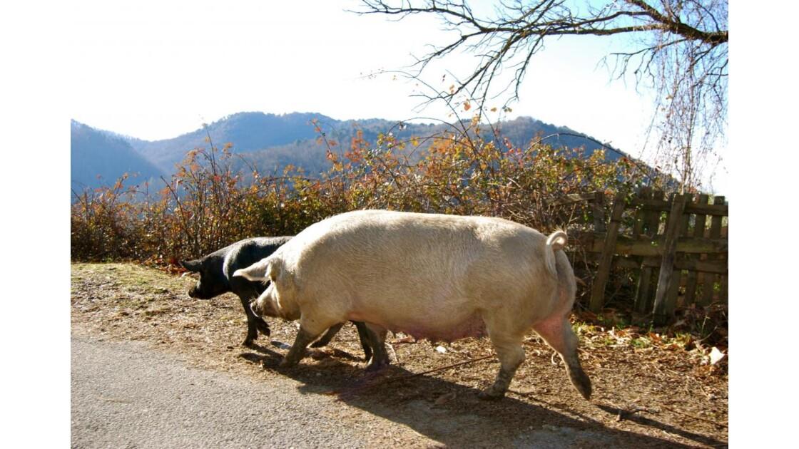 fil rouge n°1 : la course des cochons