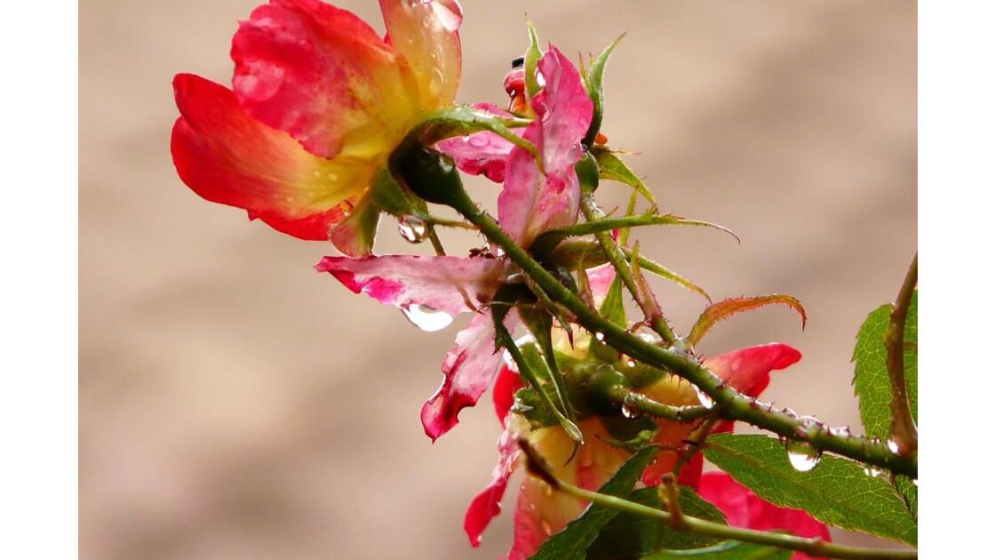 rose au matin