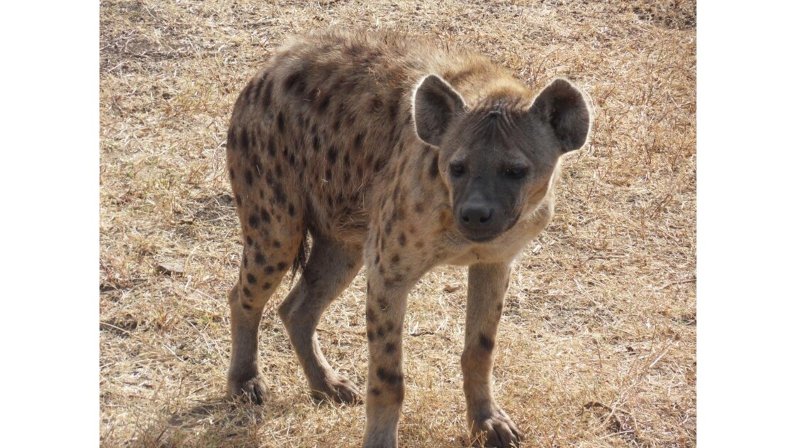 hyene star