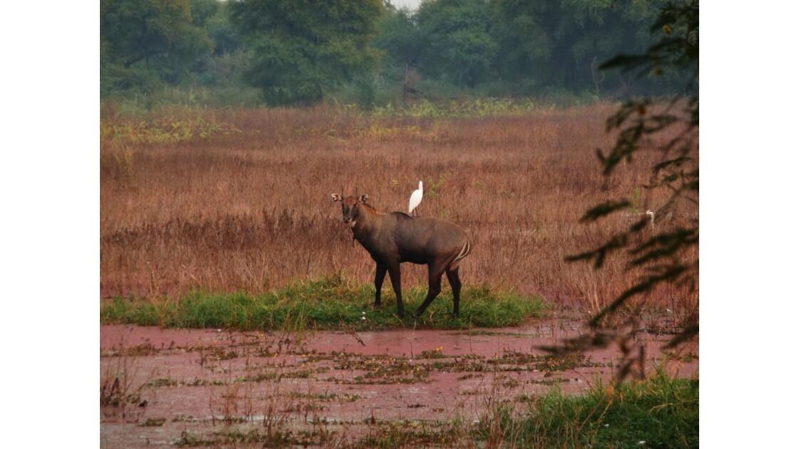 sur l'antilope
