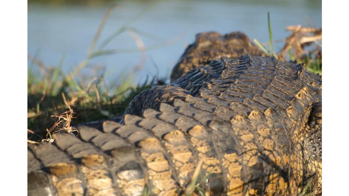 Drôle de crocodile