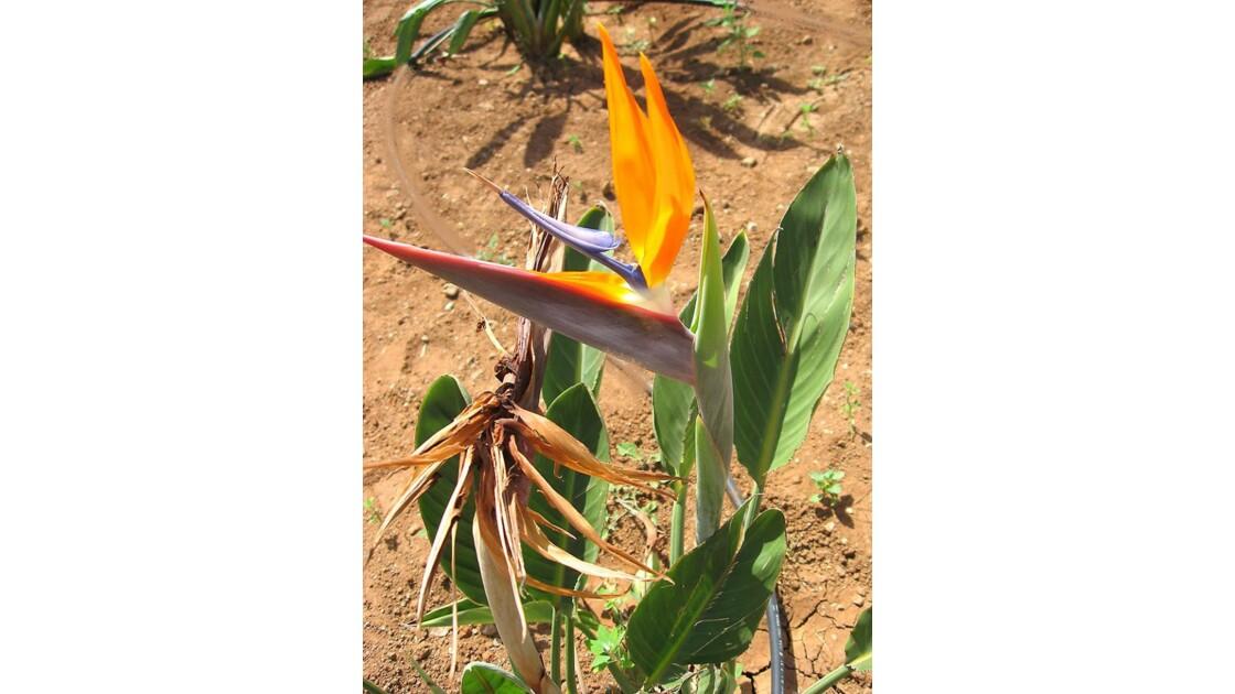 fleur_de_paradis_sur_la_plage_Amadores.