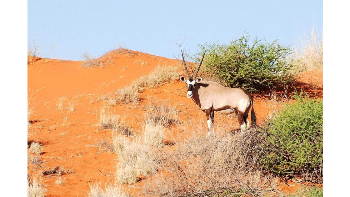 Oryx_dans_le_Namib.jpg