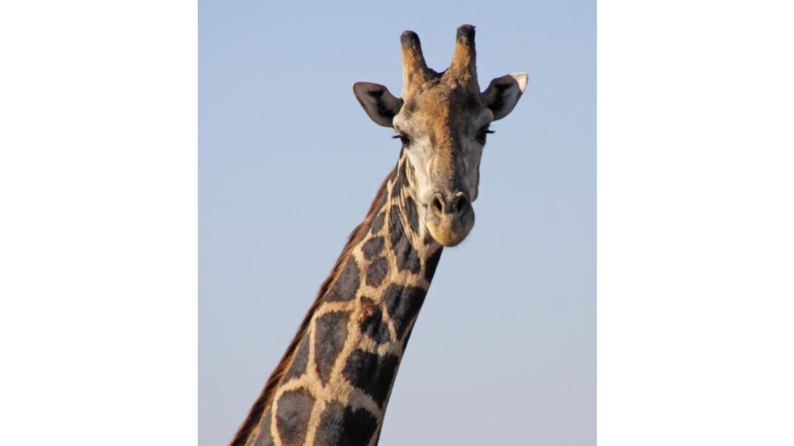 girafe, Chobe