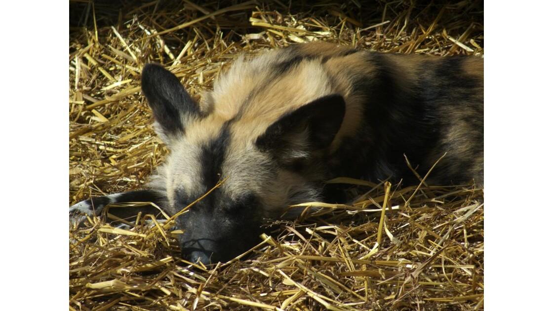 Londres - Le Zoo - Une hyène