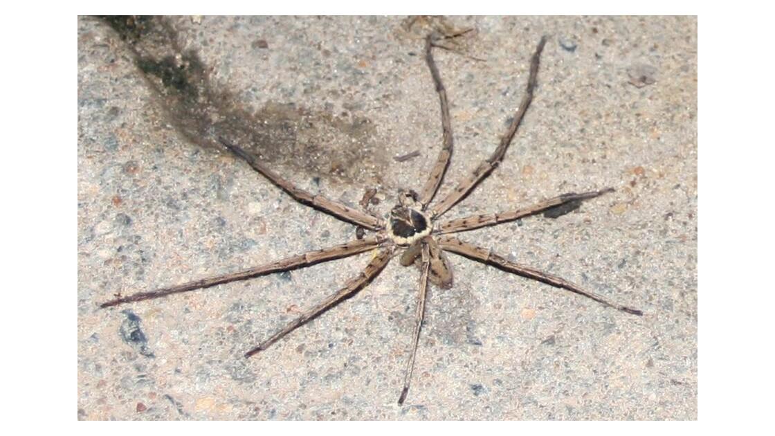 Araignée : Heteropoda venatoria
