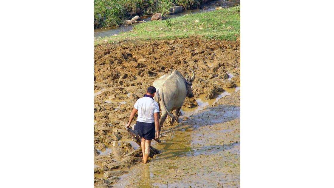 région de Sapa labourage de rizière3