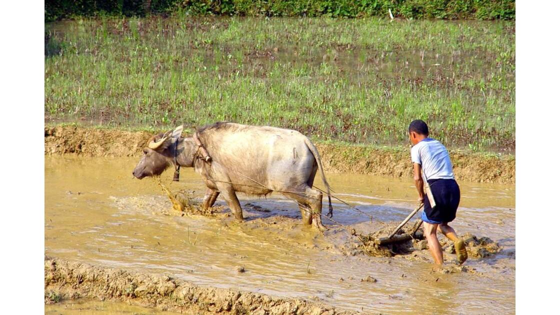 région de Sapa labourage de rizière2