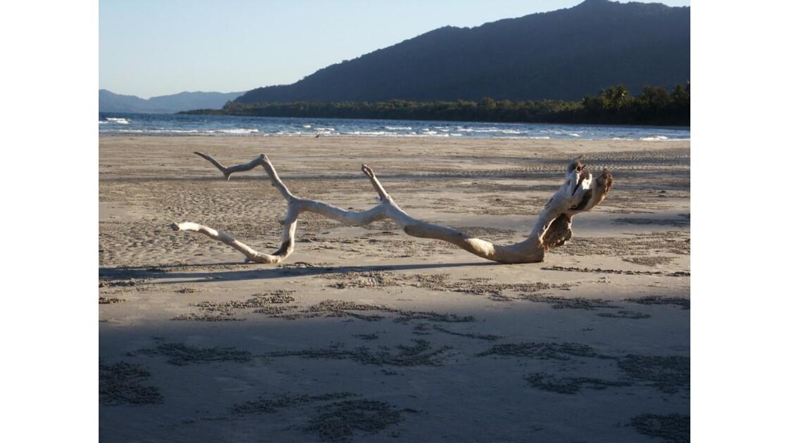 Arbre mort à Cape Tribulation