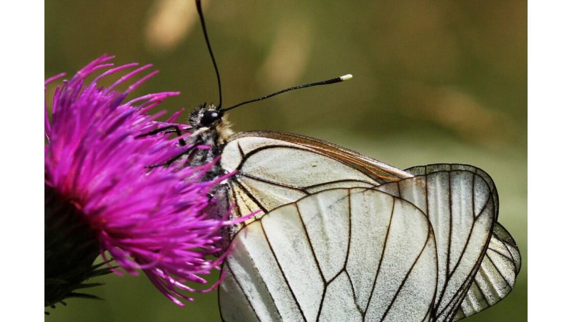 Détail des ailes 1