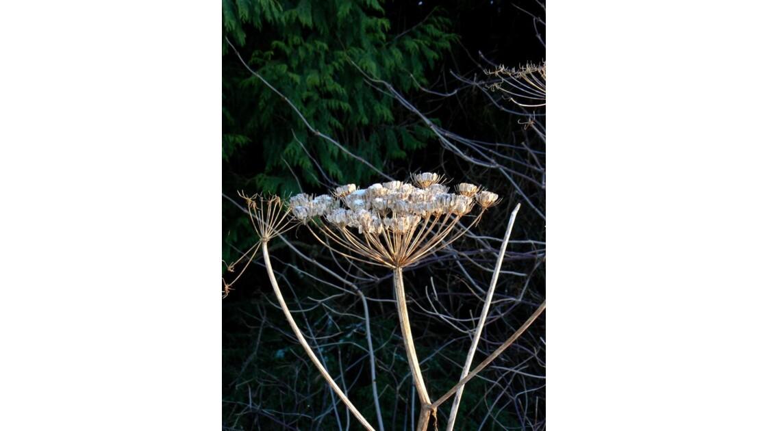 Fleur séchée - Prince Rupert - Canada