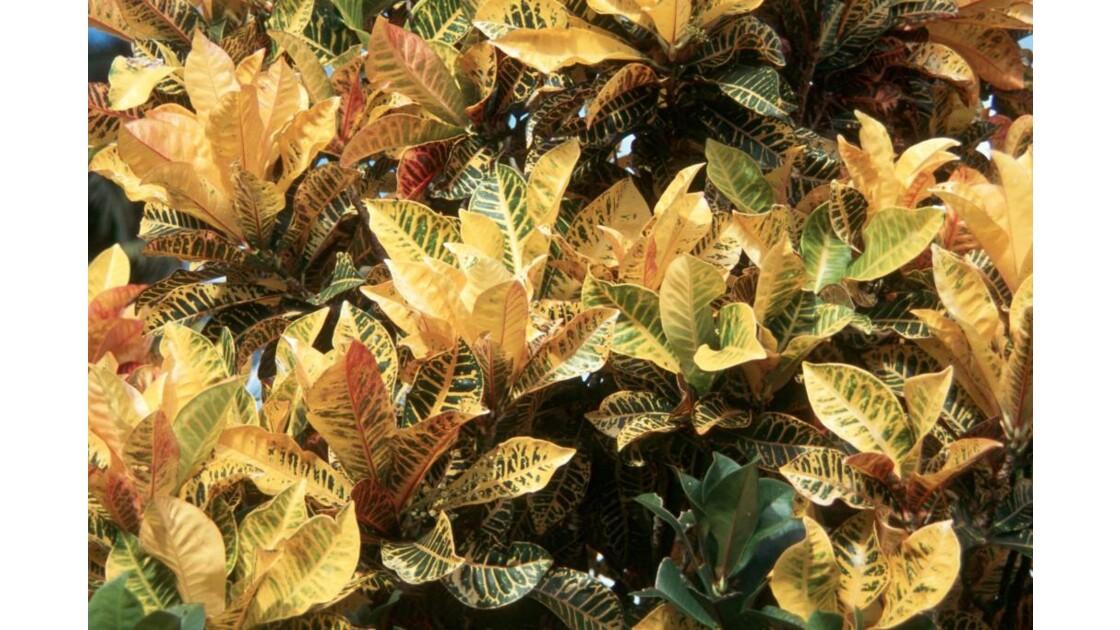 Crotons_01.jpg