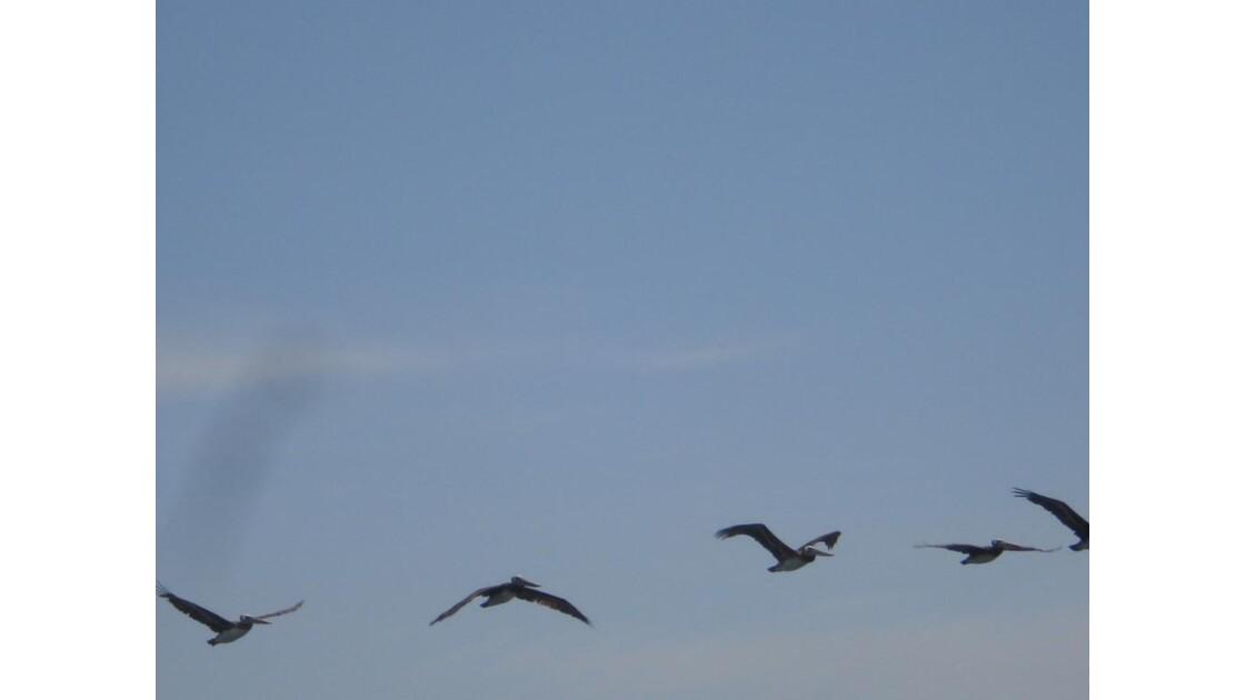 Pélicans en vol à Paracas,  Pérou
