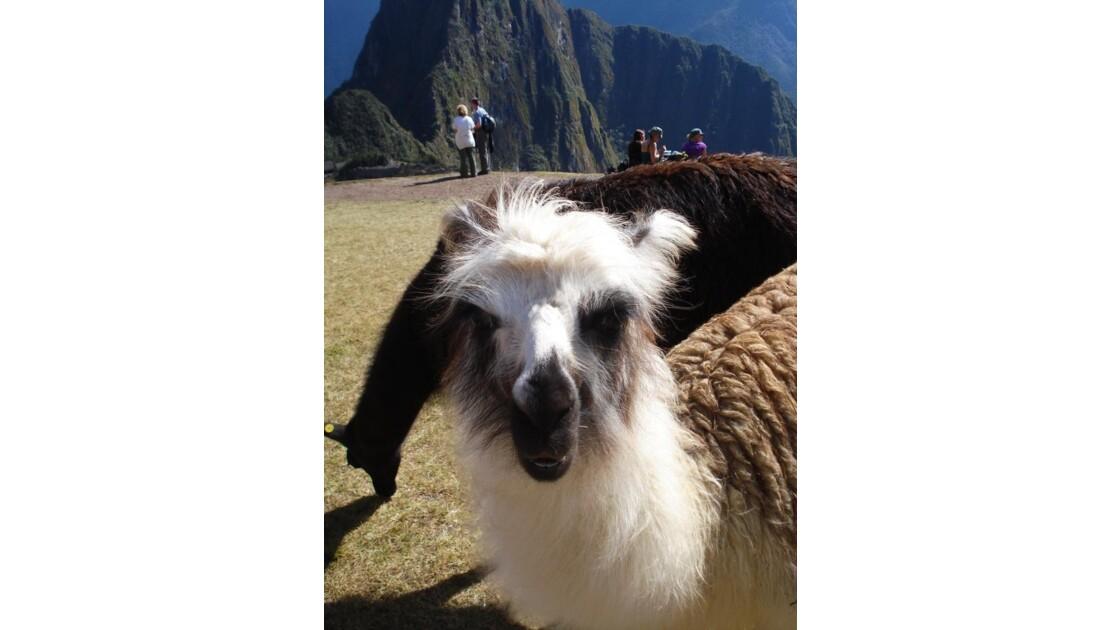 Un lama au Macchu Picchu, Pérou.jpg