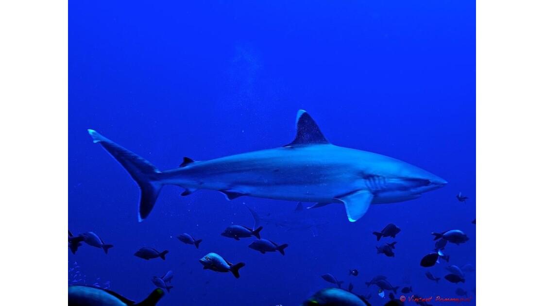 Requin pointe blanche de récif, Rangiro
