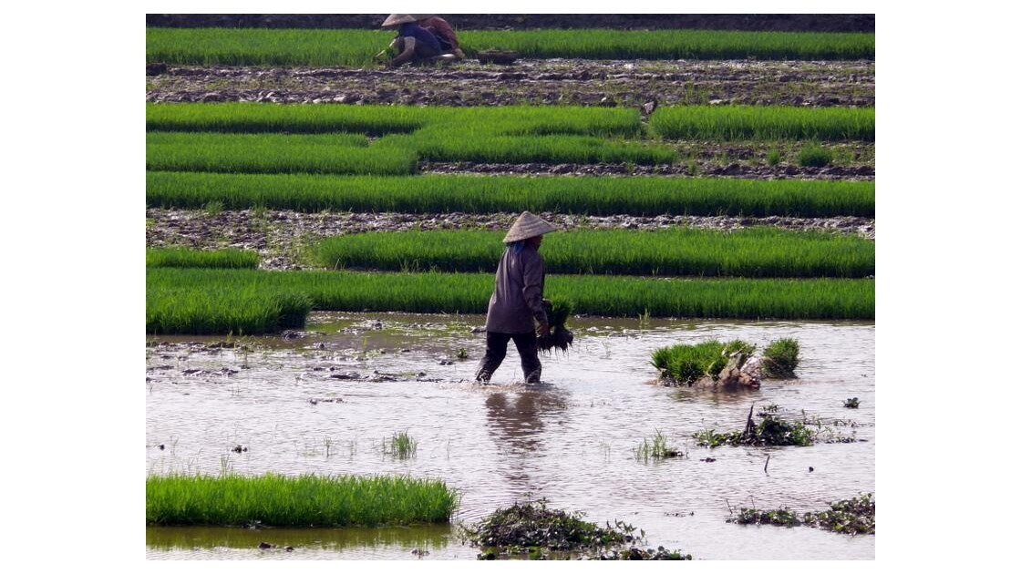 plantation du riz