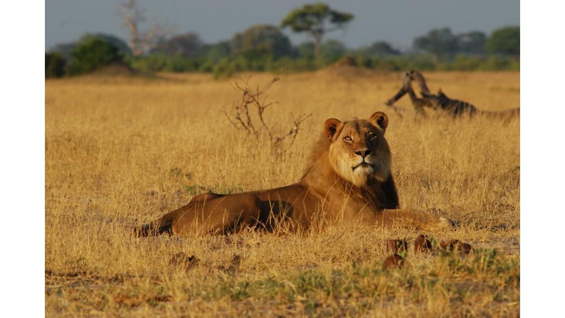Jeune lion adulte