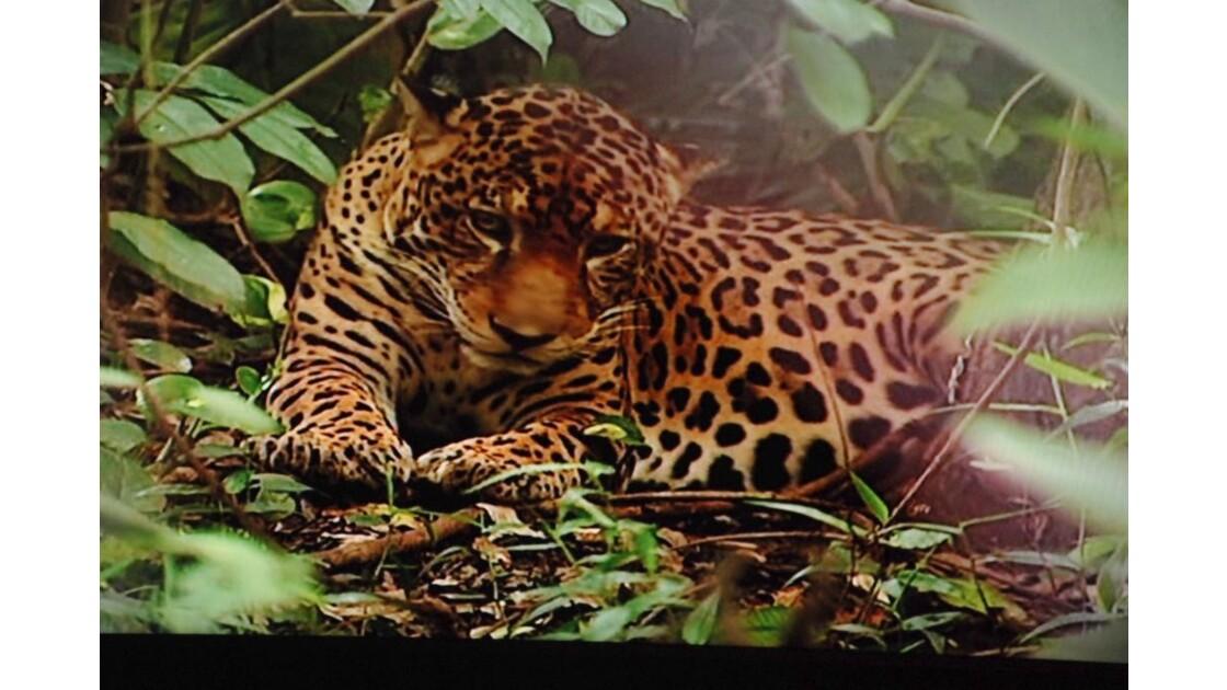 petit jaguar