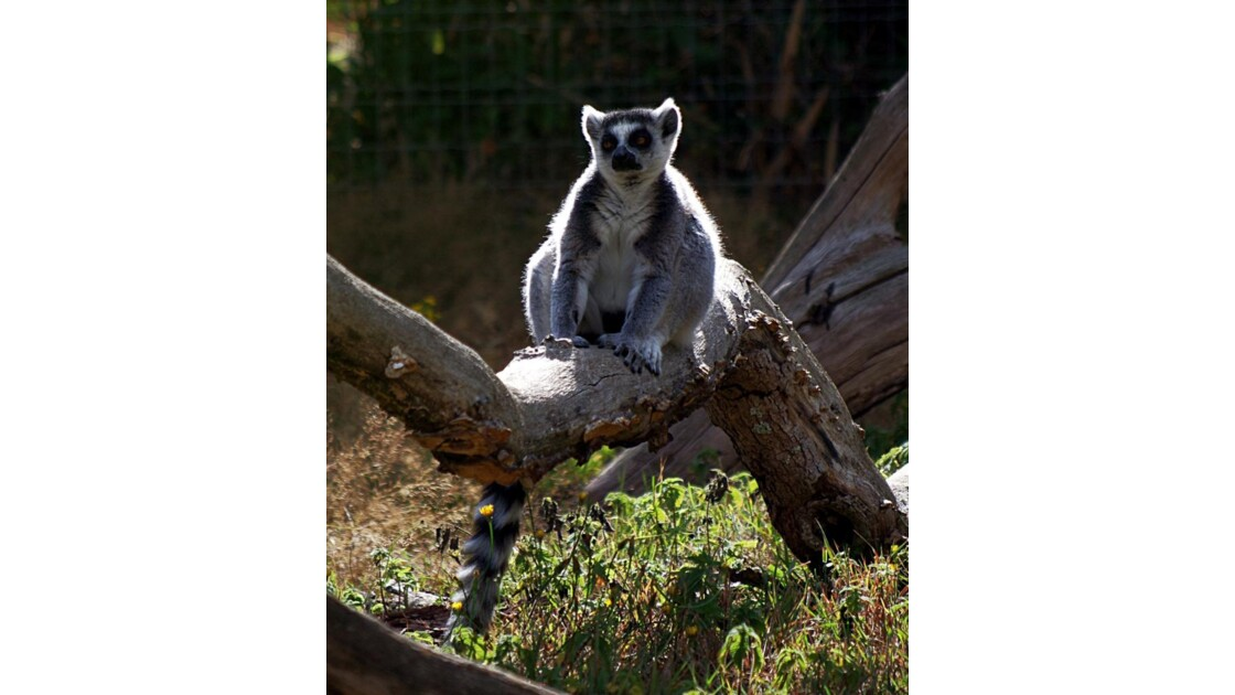Lemurien maki catta