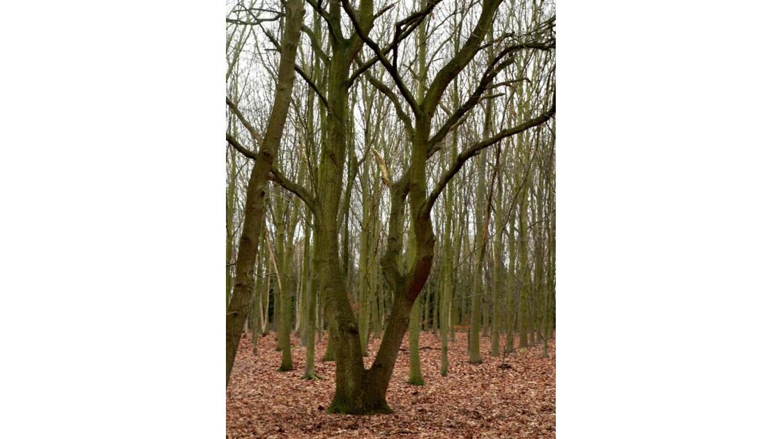 En forêt du Chêne à leu.