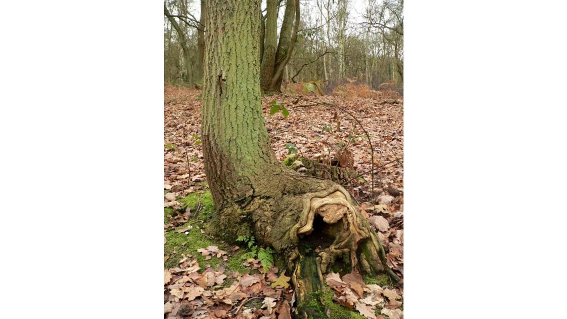 En forêt du Chêne à leu, racine