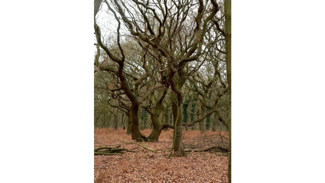En forêt du Chêne à leu,les vieux chênes