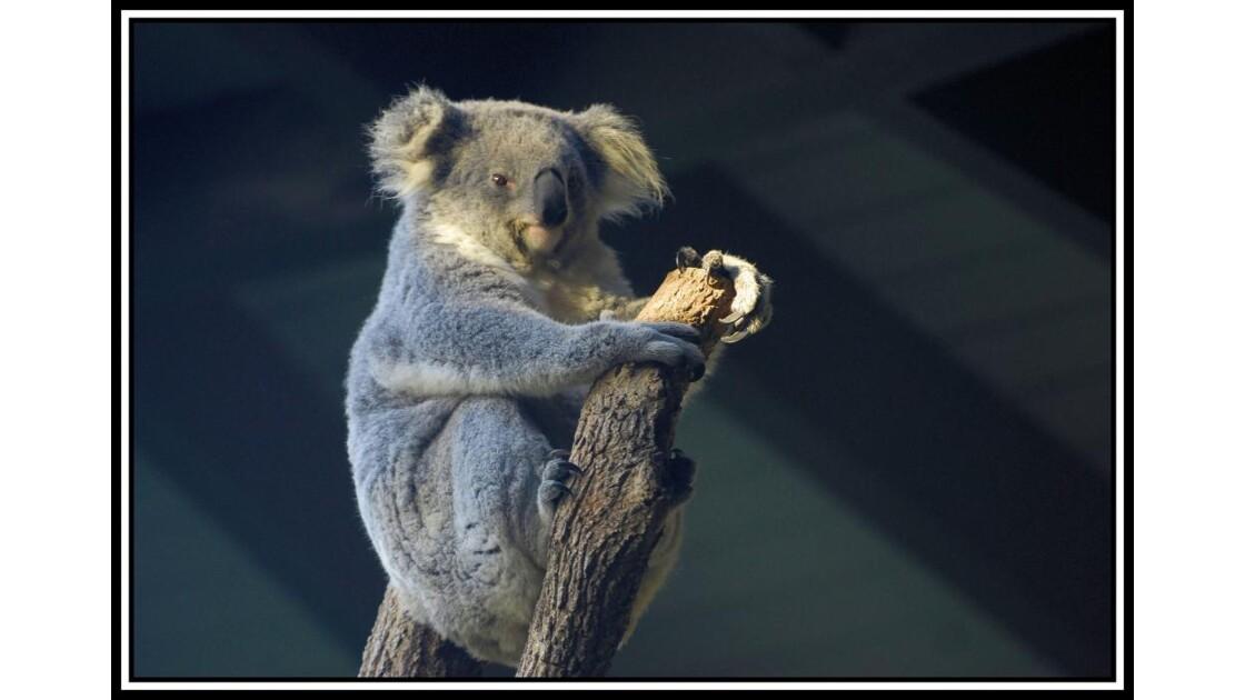 Sydney Koala