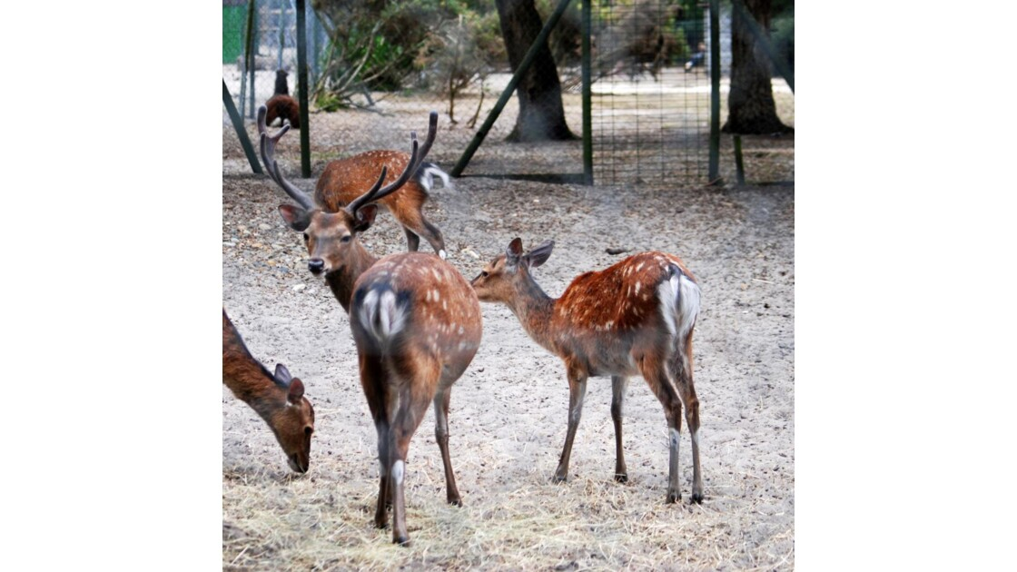 Cerf sika - 2010 07 16 (178)