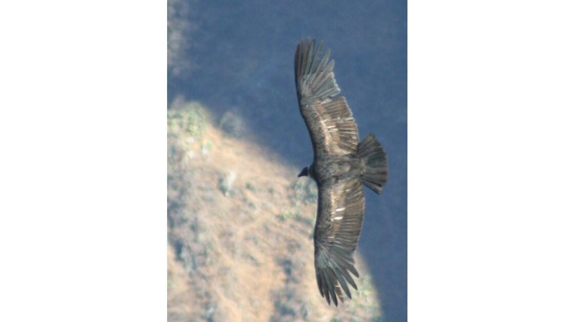 Condor au Canyon de Colca