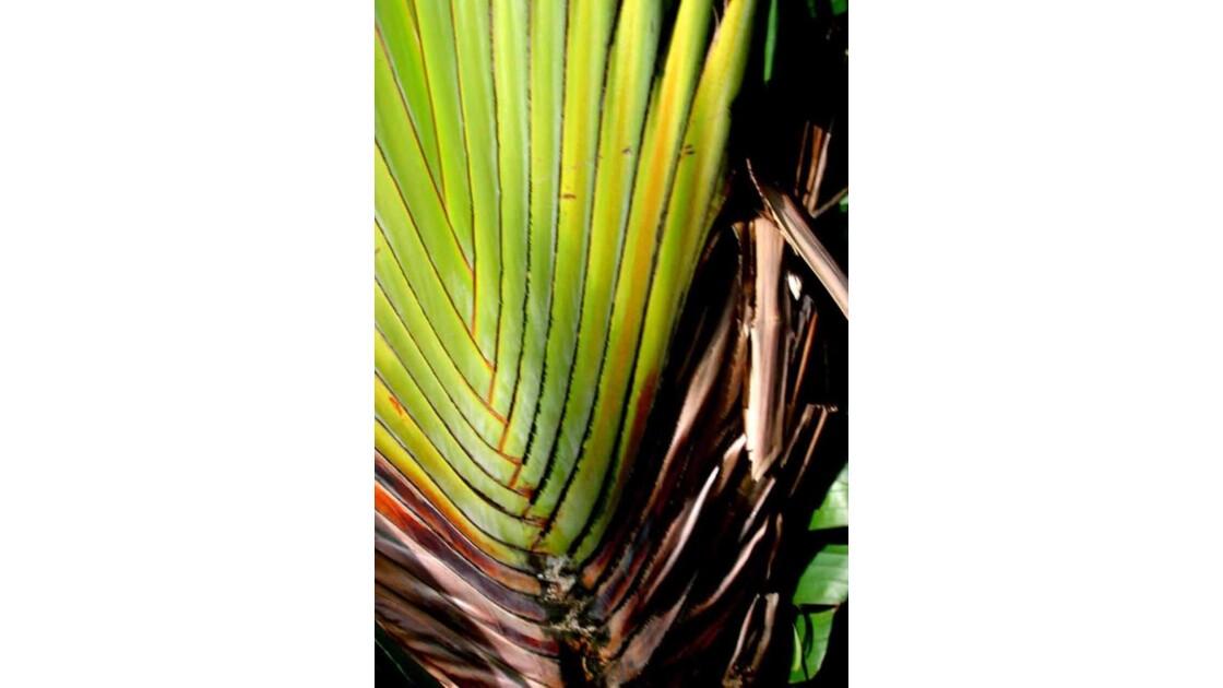 palmier leque