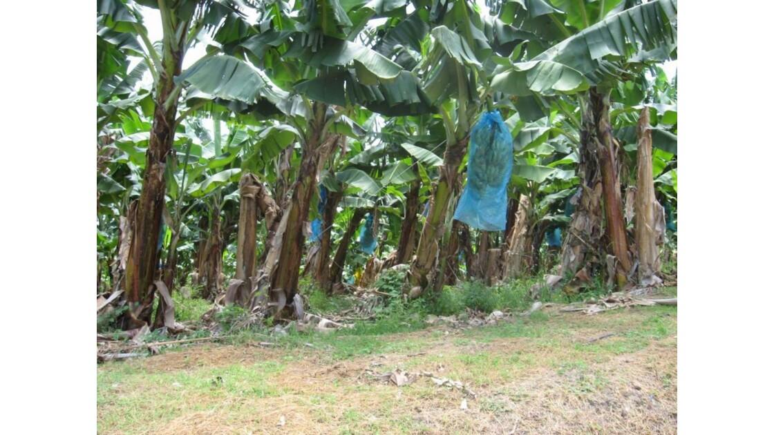 bananerai