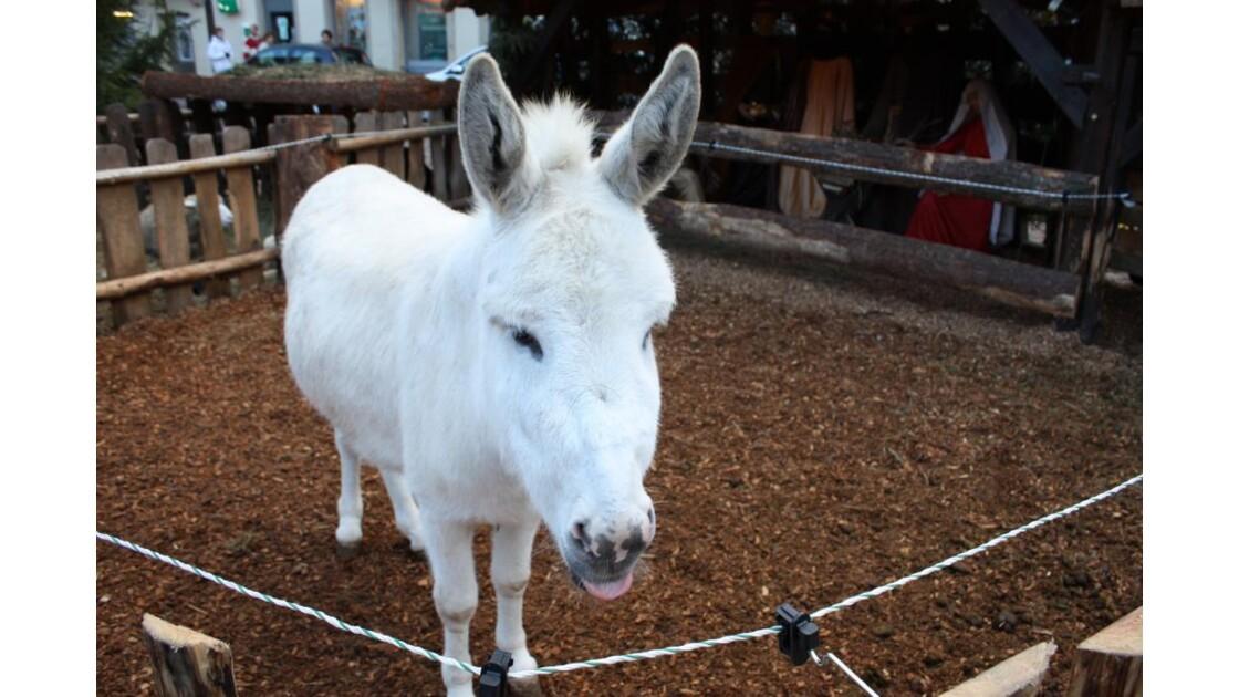 Petit âne blanc