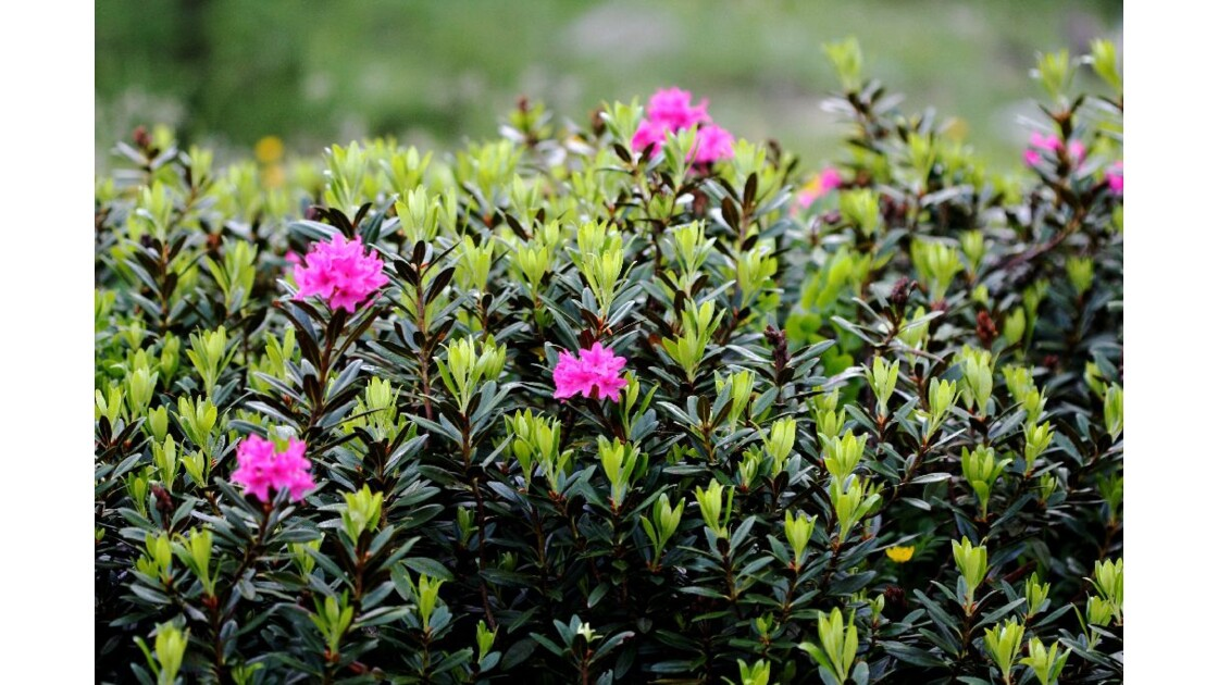 Rhododendron massif 1