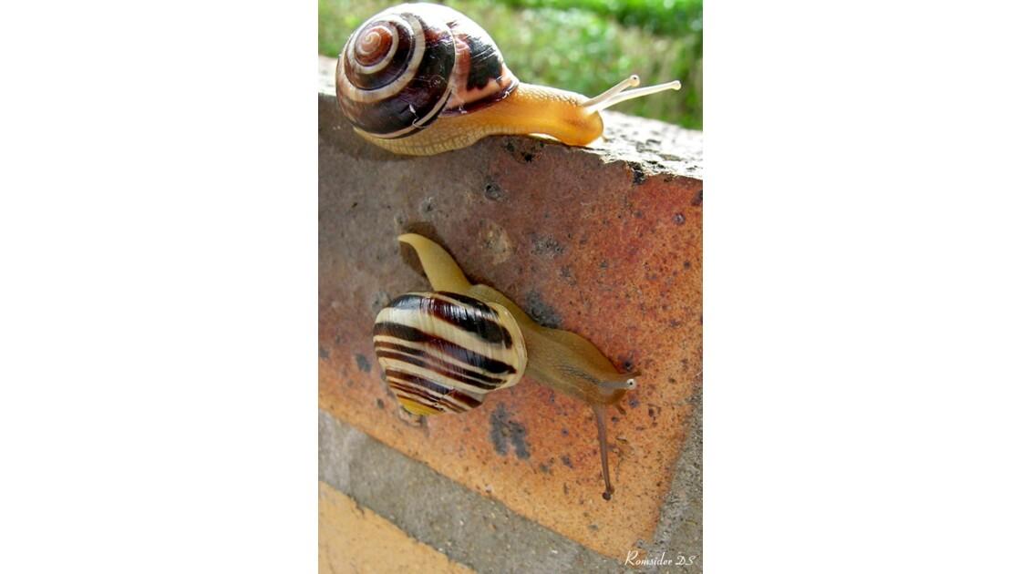 L'escargot fait le mur