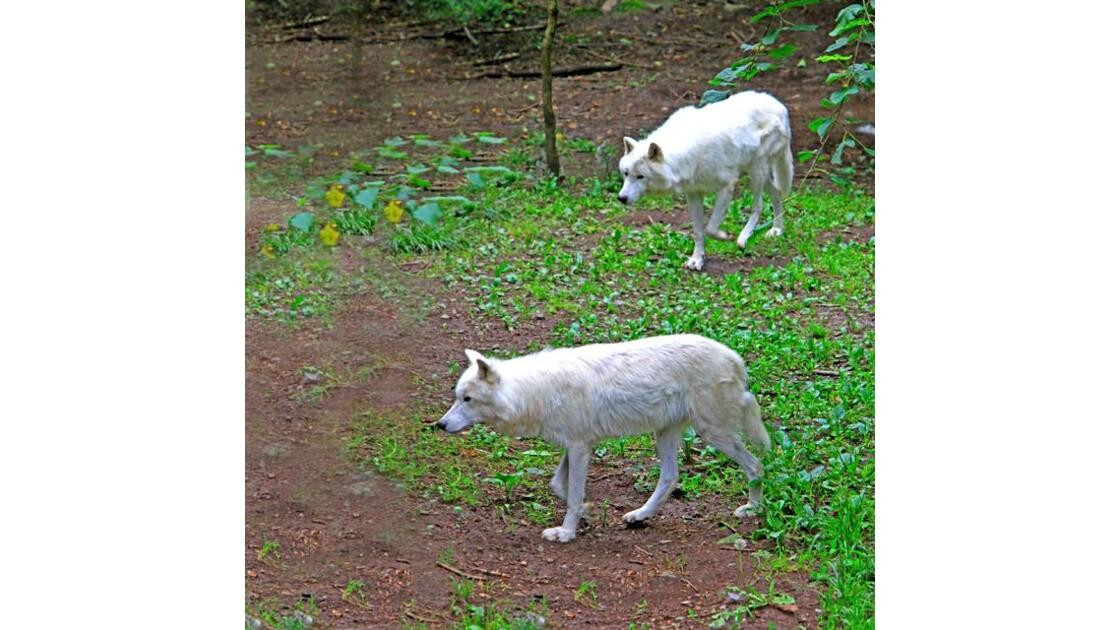 loups arctiques 2.