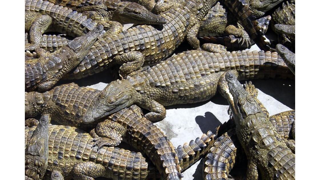 zimbabwe_crocodile_01.jpg